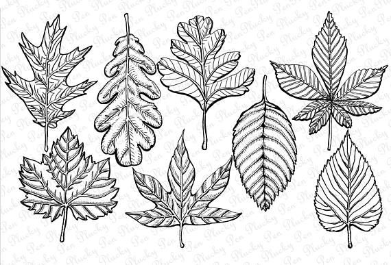 Fall Leaves Clipart Instant Download Lithographic Etched Etsy Leaf Clipart Drawings Leaf Outline