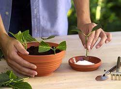 How to propagate Hydrangeas from cuttings.....- Cómo propagar Hortensias partir de esquejes .....
