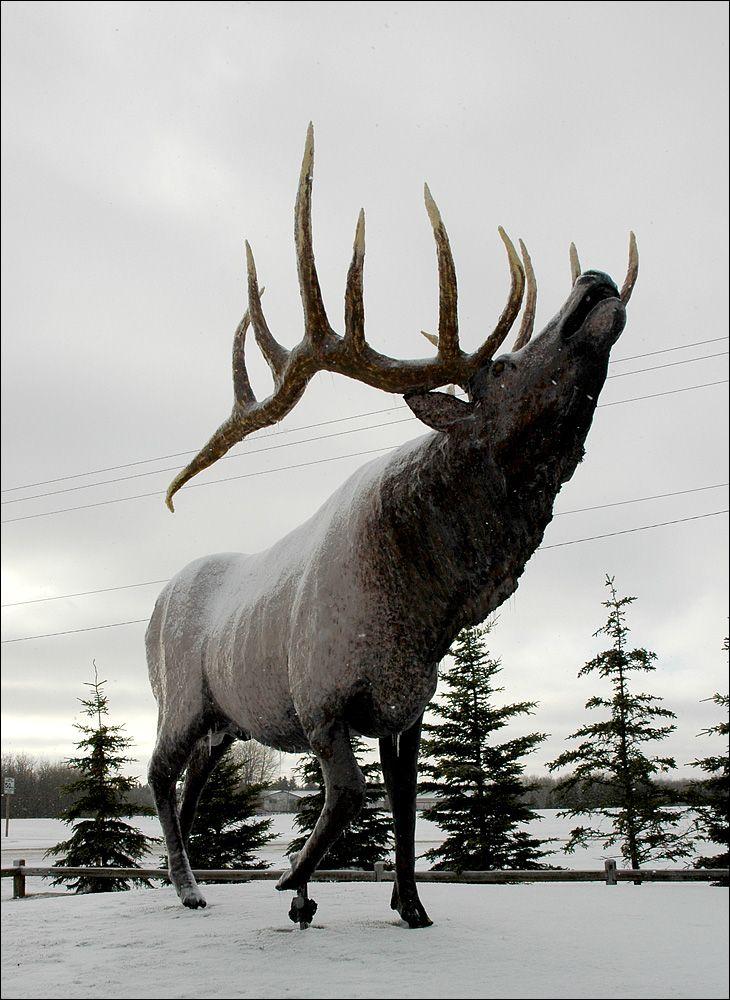 The Elk of Onanole, Manitoba. #exploremb