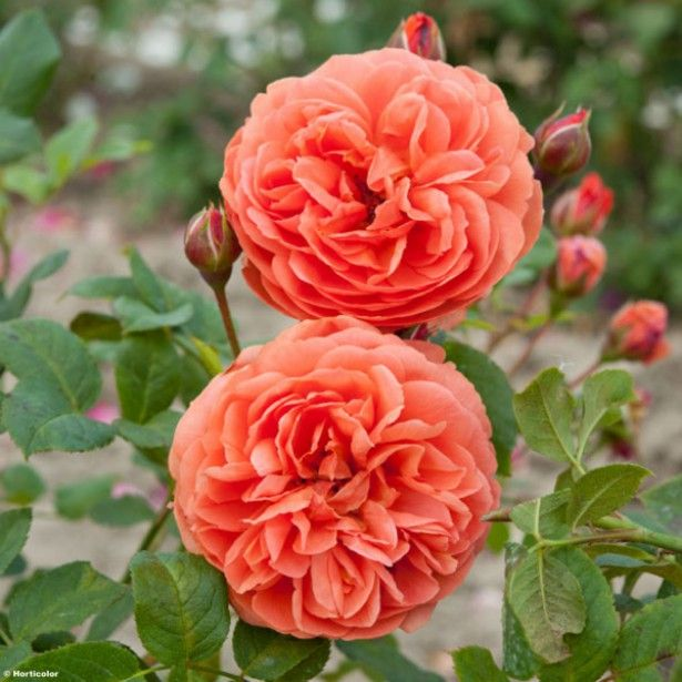 754 best the soul of the rose images on pinterest david austin summer song rose mightylinksfo Images