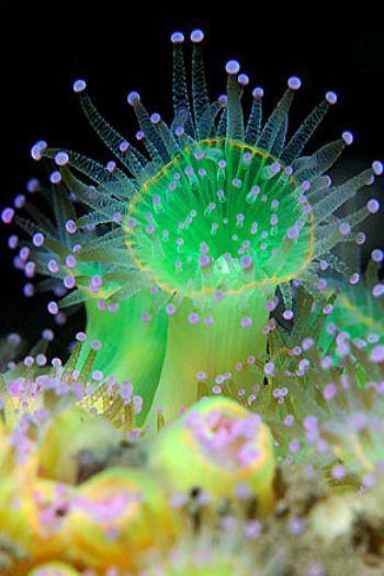Jewel Anemones- The modest jewel anemone (Corynactis haddoni) may well be one of