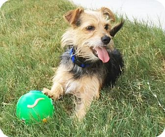 Austin, TX - Jack Russell Terrier/Yorkie, Yorkshire Terrier Mix. Meet Beasley In Austin, a dog for adoption.