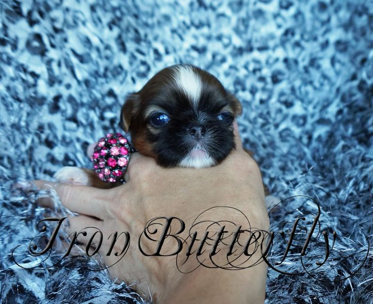 Iron butterfly chinese imperial shih tzu tiny teacup