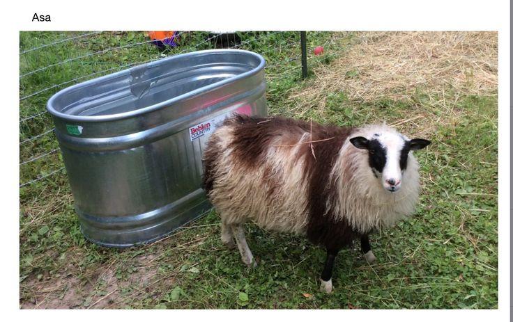 Asa: Icelandic sheep...ewe lamb July 2015