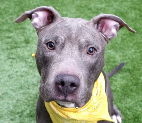 SHE RA - A1107001 - - Manhattan  TO BE DESTROYED 03/29/17 **NEEDS A NEW HOPE RESCUE TO PULL** A volunteer writes: She-Ra and He-Man were found fastened to our door one cold morning of March..They seemed to know and be accepting of each other. She-Ra is a rather thin gal, well dressed in a mouse grey suit. She acts keen, vigilant and always seems aware of what is going on around her, whether it be other dogs, treats or a ball. She is leashed in no time , is a fast walker and