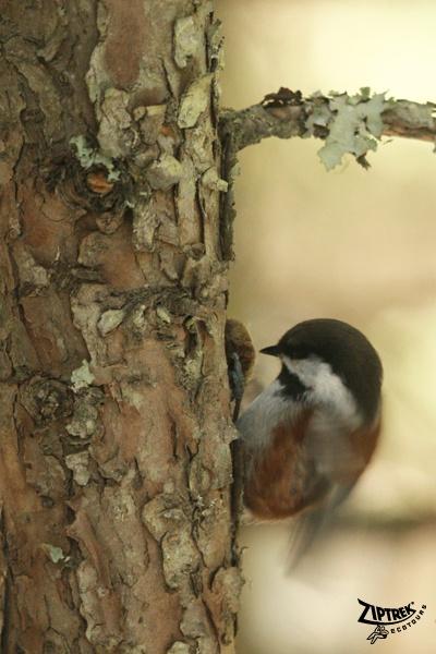 88 Best Songbirds Images On Pinterest  Beautiful Birds -5334
