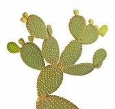 Cactus : Cactus Opuntia isolato su sfondo bianco  Archivio Fotografico