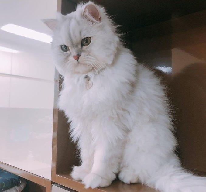 70 Best Persian Cat Names Persian Cat White Cat Names Persian Cat