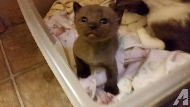 Purebred Burmese Kitten and Purebred Ragdoll Kitten for Sale in Waukesha, Wisconsin Classified | AmericanListed.com
