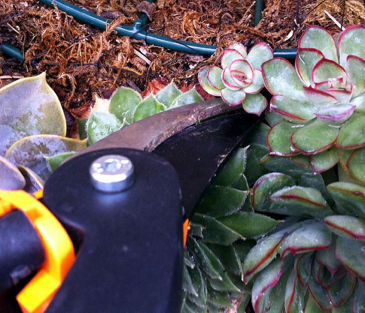 trimming pruning succulents pruning plants pinterest. Black Bedroom Furniture Sets. Home Design Ideas