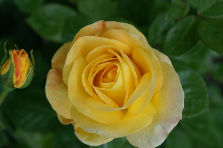 The sweetest smelling rose!