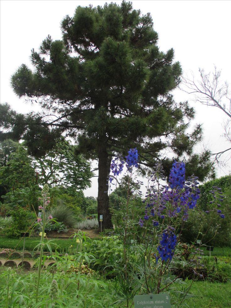 Botanic Garden - Delphinium elatum