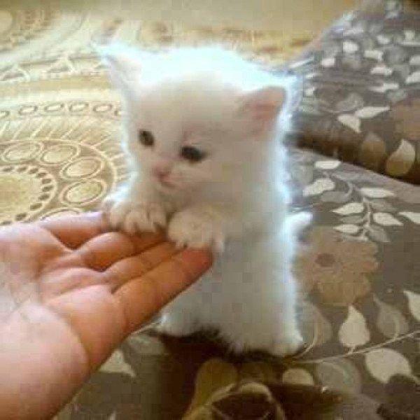 Fuzzy white kitten with stubby legs from sam_ayye Sam Pertsas