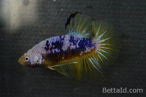 Ikan Cupang Plakat Marbel Samurai PK12, warna dominan kuning marbel, kondisi ikan sehat, sirip ikan balance, sisik mengkilap, bermental berani, dan body proporsional. #ikan #cupang #plakat #ikancupang #bettafish