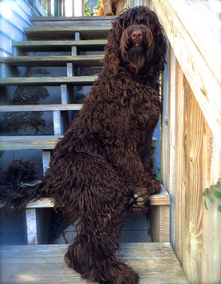 Amazing Labradoodle Chubby Adorable Dog - cb243eeaa1e16cafb679909c2623b850--chocolate-labradoodle-decor-ideas  Image_551494  .jpg