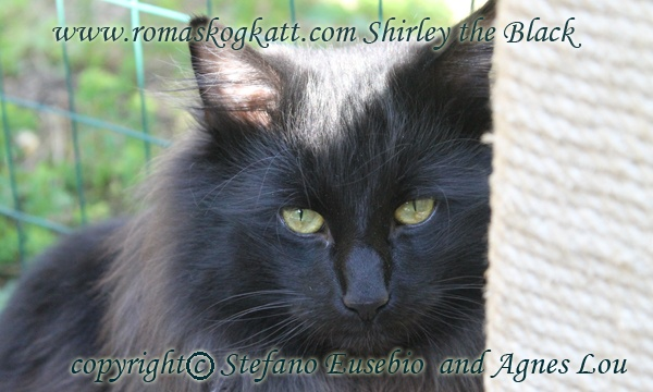 Dragons Shirley the black Norwegian forest cat