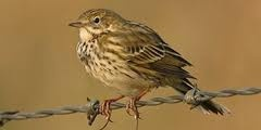 Meadow Pipit - Spotted by guests at the croft in early June 2012.