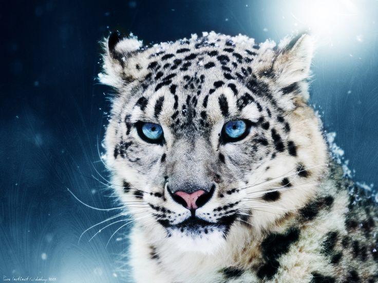 tigreau blanc