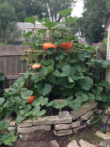 Kürbisse nehmen enorm viel Platz ein, jedoch nicht wenn man sie vertikal, also mit Rankhilfe pflanzt. Ich unterstütze die schweren Kürbisse mit Kartoffelsäcken, die ich an die Rankhilfe binde.
