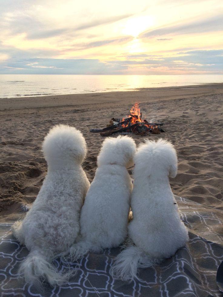 Elsa&Alma  Bichon frise ❤️ friends on the beach