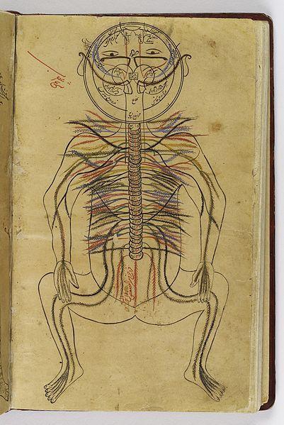 İbn-i Sina' ya ait Tıbbın kanunu kitabından.. Sinir sistemi anatomik çizimi.