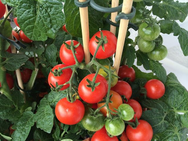 Sokan nem használnak vegyi anyagokkal kevert öntöző szereket a zöldségeskertben, hanem inkább természetes növényvédő szereket ...