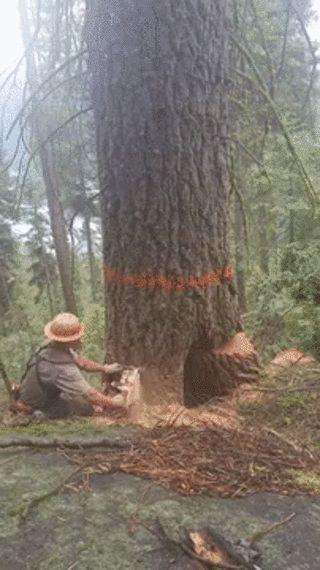 rotten tree explodes....lucky man