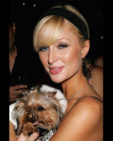 Hilton poses with Cinderella the Mini Yorkie, which is just one of her many pint-sizedpooches.