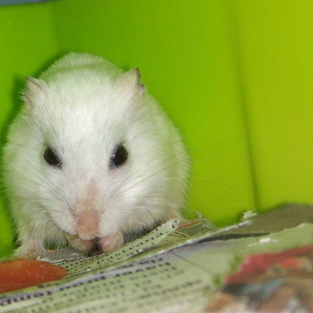 Ñam! Sandía 🐹🍉💞 #cute #instagram #lovepet #animal #animals #hamstee #hamstergram #hamsters #hamsterlove #lovehamster #loveanimals #loveanimal #socute #lovepet #hamsterofgram #hamsterlife #instaham #instahamster #mouse #hamsterruso #russianhamster#hamster#animal#cute #cuteanimals #lovely#roedor#hamham…