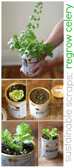 Sustainable scraps: regrow celery!