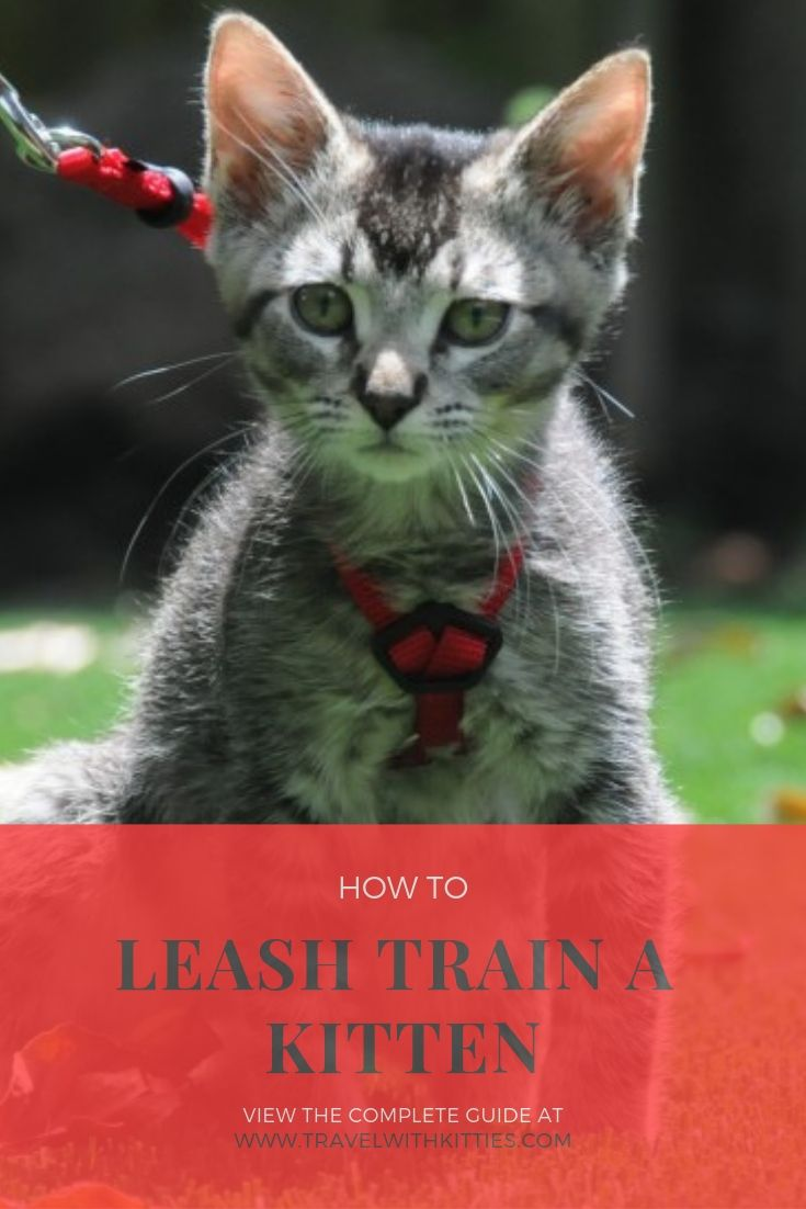 How To Leash Train A Kitten A Complete Guide Training A Kitten Cat Training Leash Training