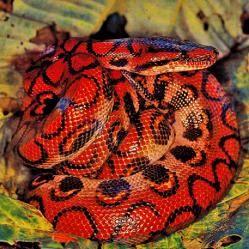 """Serpiente del maíz. El nombre de """"serpiente de maíz"""" viene del hecho de que tienen el maíz-como el patrón en sus vientres y porque se encuentran en campos de maíz. Se pueden encontrar en el sudeste de Estados Unidos, desde Nueva Jersey a los cayos de la Florida y hacia el oeste hasta Texas. Las serpientes del maíz tiene una dieta que consiste principalmente de roedores, principalmente ratones y ratas.Sus presas son asesinadas por la constricción."""