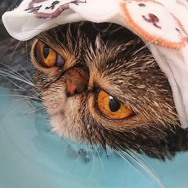 お風呂大好き。 いつも寝ちゃうんれすよ♪ポカポカァ。  #エキゾチックショートヘア #エキゾチック #exoticshorthair #exotic #cat #catsofinstagran #fluffycat #kitty #kitten #meow #cute #sweet #lovely #adorable #bathtime #猫 #愛猫 #异国短毛猫 #ねこ部 #ふわもこ部 #ぶさかわ猫 #可愛い猫 #お風呂好き #長風呂 #いい湯だな #癒し #うず