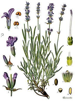 Echter Lavendel (Lavandula angustifolia) Keskenylevelű levendula / közönséges levendula / orvosi levendula