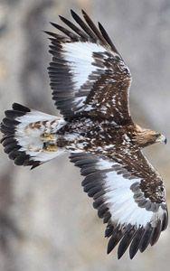 Fotos del Águila Real
