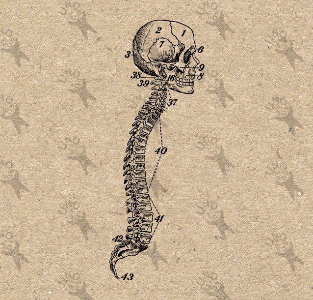 Vintage Anatomy Human Spine Backbone antique drawing old ...