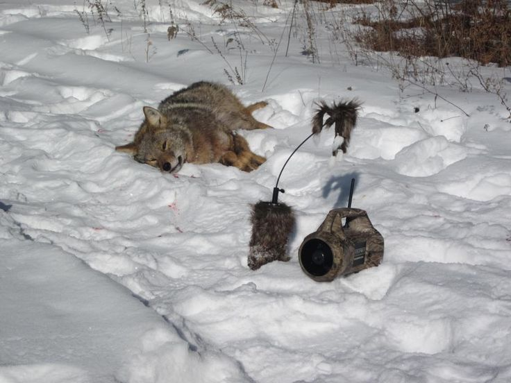 Dead coyote next to a FoxPro call and decoy