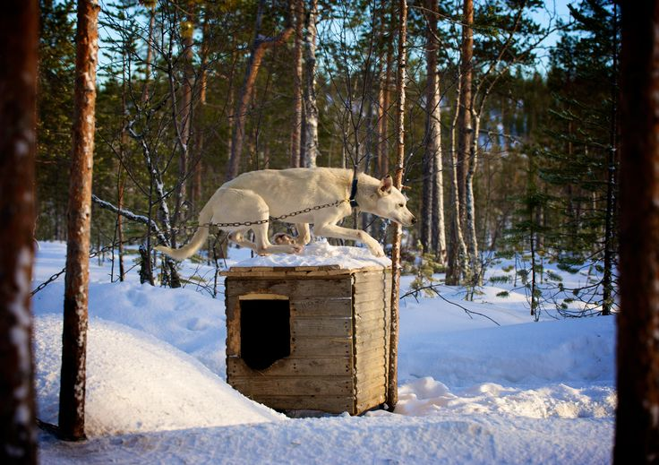 Photographer Pernille Westh | Wendy the Sled Dog. A moment from my ongoing project about the North · Do you love to photograph dogs? Get my 5 FREE basic dog photography tips; http://pw5383.wixsite.com/photographytipsdogs