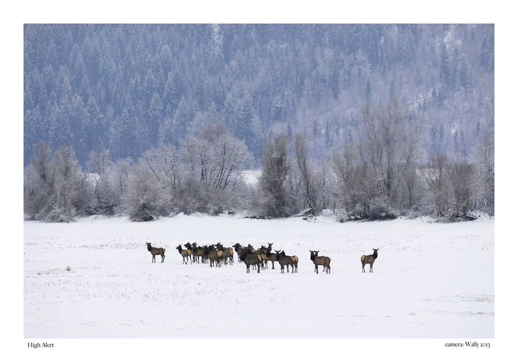 a gang of Elk