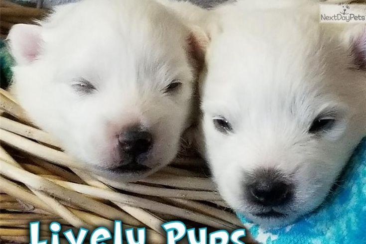 American Eskimo Dog Puppy For Sale Near Colorado Springs Colorado