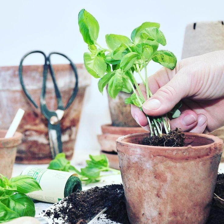 Gone gardening  Jeg omplanter min 'købe-basilikum' i flere potter. Jeg bruger den ene til at klippe af og den anden må vokse. Dobbelt op #urbangardening #urbangarden #urbangardenersrepublic #urbangardencompany #basil #growyourown #slowfood#justaddwater