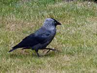 Choucas des tours Corvus monedula monedula
