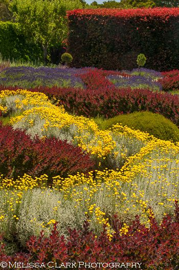 sweeps of barberry, santolina and other plants used in the Knot Garden at Filoli, with the copper beech hedge in the distance