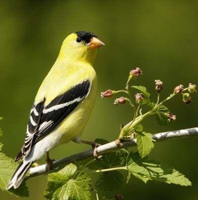 Les 28 meilleures images propos de oiseaux du qu bec sur for Oiseau noir bec jaune