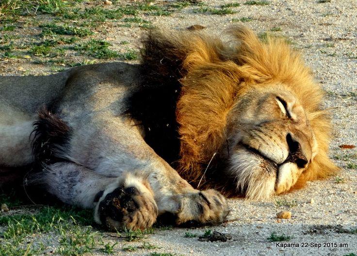 Male lion sleeping off breakfast