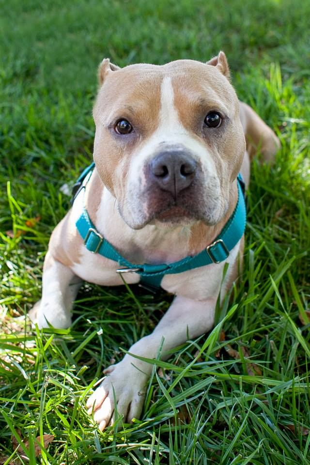 Sweet Shea is an adorable little package of pittie smile and snuggle bunny. She is a 2-3 yrs old Staffordshire Bull Terrier/American Bully (pocket pittie) and was found as a stray with another staffie named Tyrion. We think Shea had a past as a...
