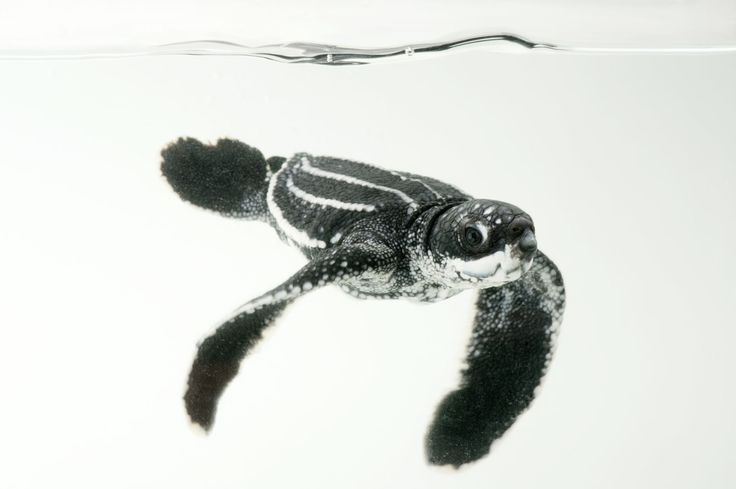 A half-day-old hatchling leatherback turtle (Dermochelys coriacea) from the wild in Bioko.