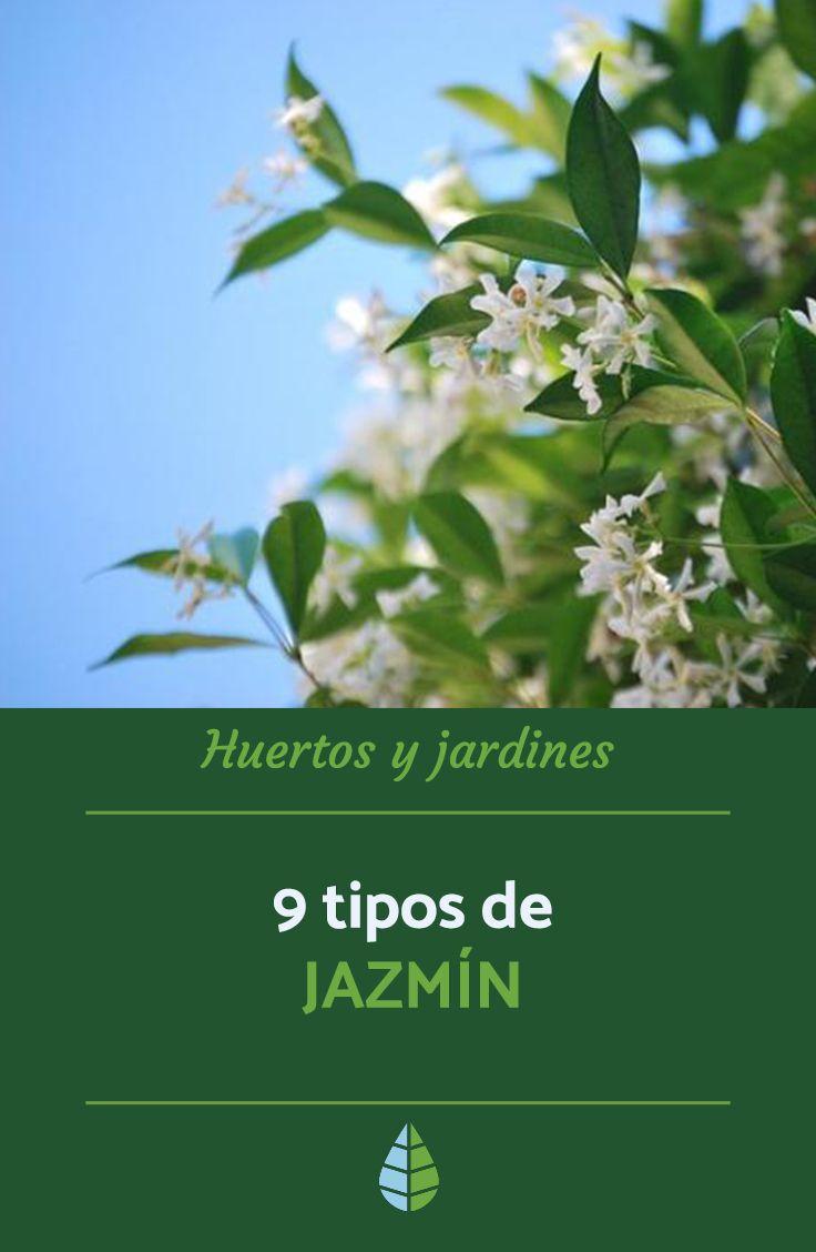 9 Tipos De Jazmín Nombres Características Y Fotos Jardineria Y Plantas Jazmin Planta Plantas Jardin
