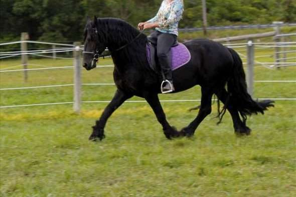 gelding friesian horse for sale contact for more information and pics