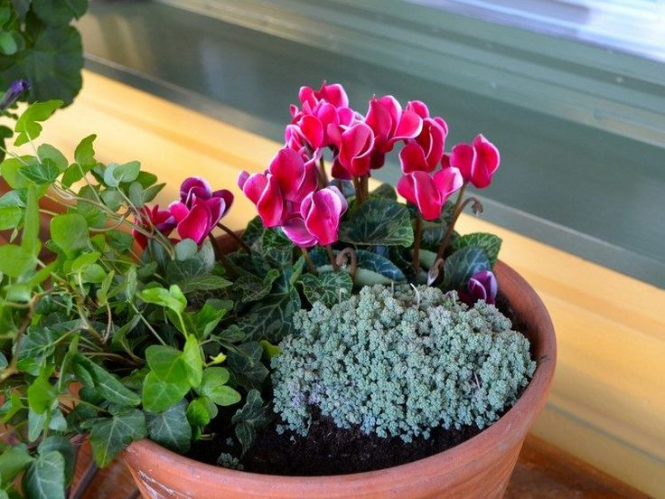 fleurs d'automne cylamen sedum et lierre grimpant en tant que déco